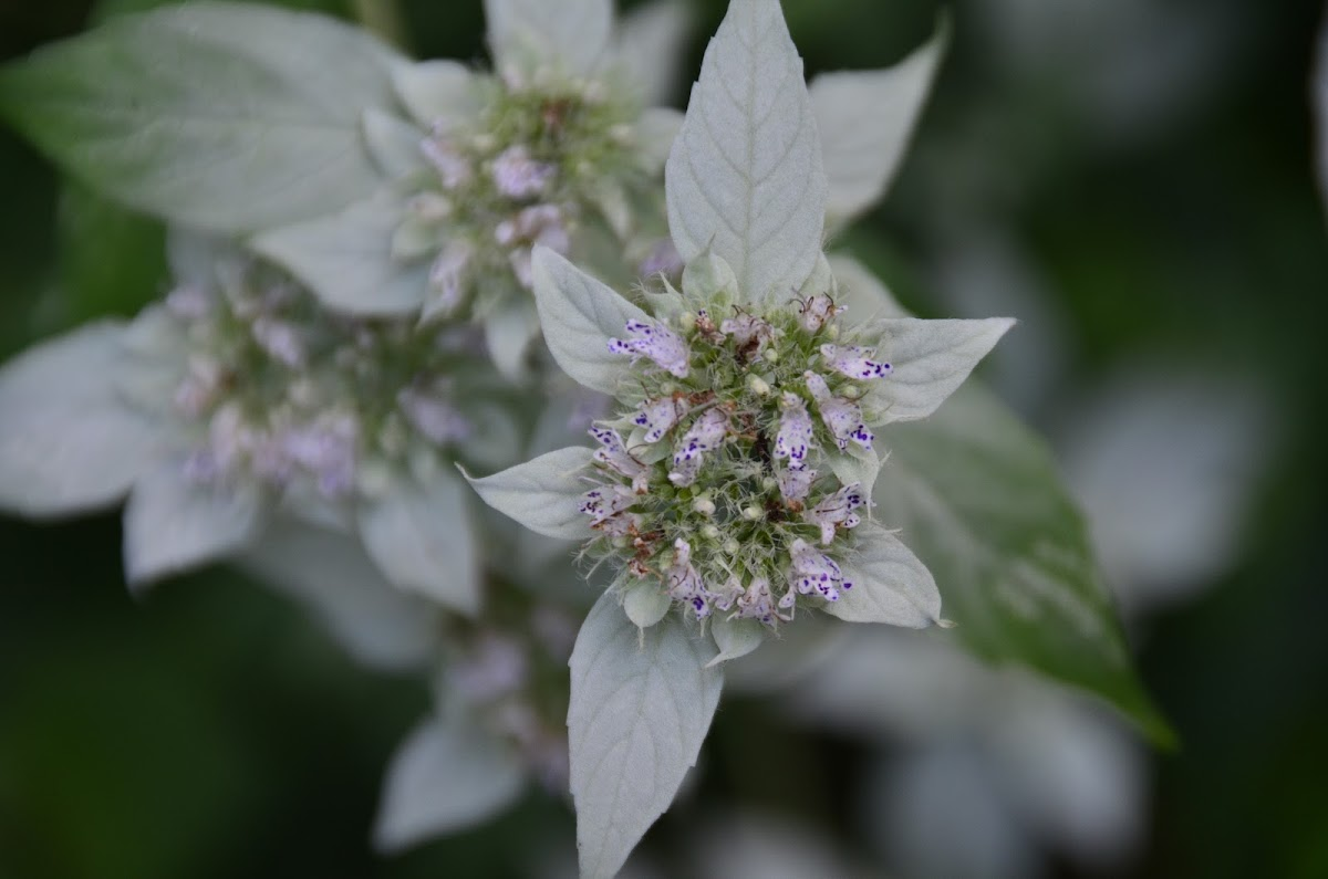 Southern Mountainmint