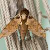 Hawk-moth
