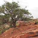 Colorado Pinyon Pine