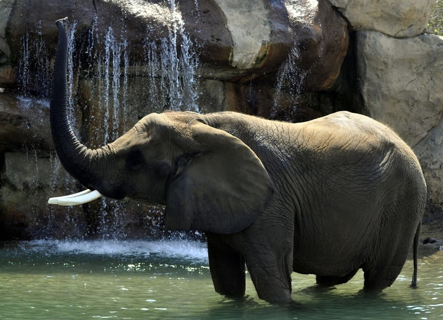 Elephant enjoying the cool waters on a hot day at the Indianapolis Zoo by Dan Tomkins - Animals Other Mammals