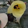Mahoe Tricolor, Variegated Sea Hibiscus