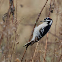 Downy Woodpecker on plant stock