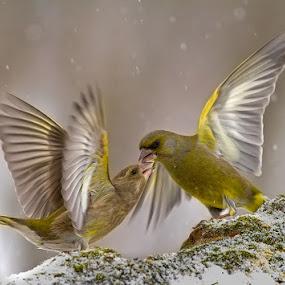 Fight Club by Zoltán Túri - Animals Birds