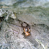 Jerusalem cricket or Potato Bug