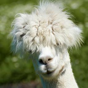 Alpaca by Miren Etcheverry - Animals Other Mammals ( farm, alpaca, llama, mammal, animal,  )