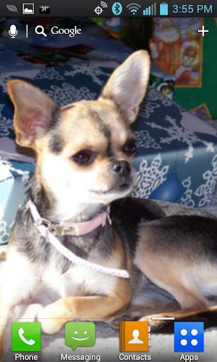 Chihuahua Live Wallpaper