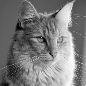 by Sheila Marques - Black & White Animals ( #catsportraits, #cats, #kitties, #cat, #norwegianforestcat,  )