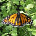 monarch butterfly (kahuka)