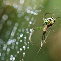 Orchard Orb Weaver Spider