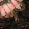 Common whipsnake