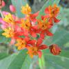 Tropical Milkweed/Mexican Milkweed