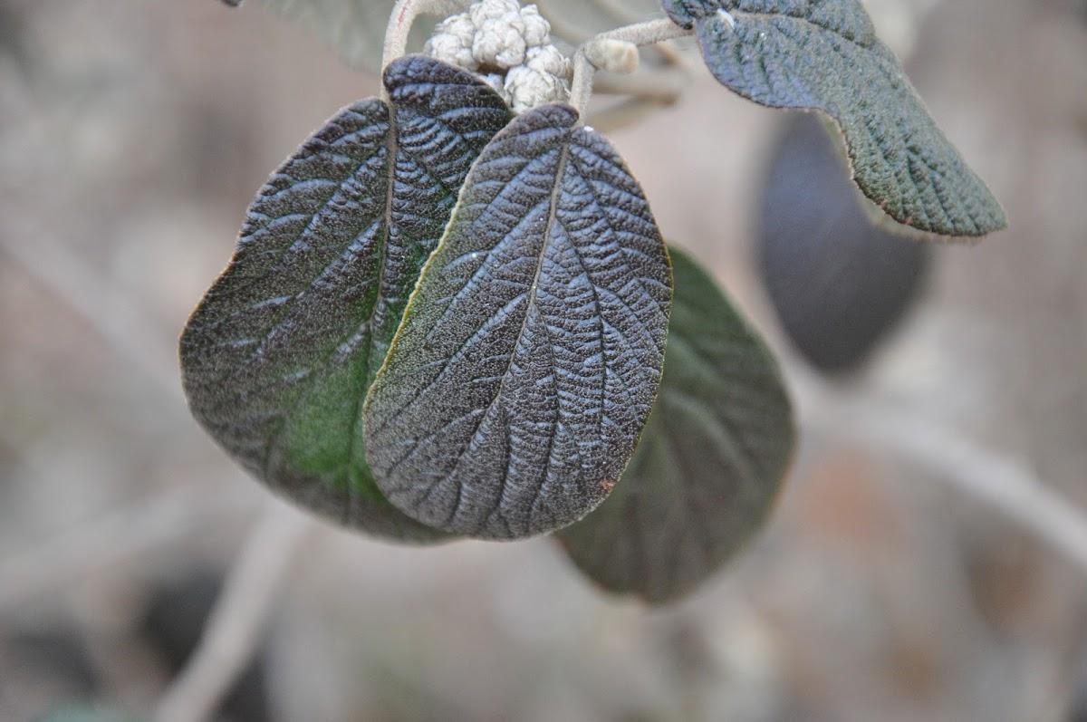 Willowood Hybrid Leatherleaf Viburnum