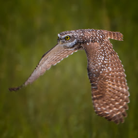 On a mission by Liza Chevres - Animals Birds ( burrowing owl flight,  )