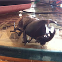 Siamese rhinoceros beetle or fighting beetle