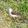 Chalk-browed Mockingbird. Calandria