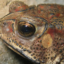 Indian spectacled toad