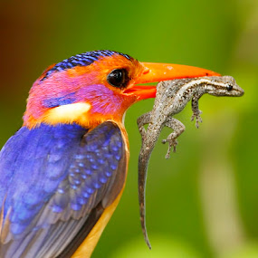 African Pygmy Kingfisher  Ispidina picta  by Chris Krog - Animals Birds ( bird, pygmy, kingfisher )