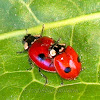 2-Spot Ladybird Beetle (mating pair)