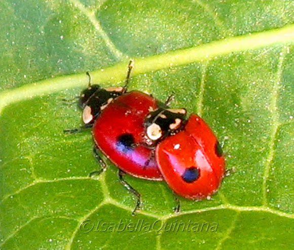 2 Spot Ladybird Beetle Mating Pair