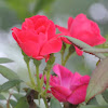 Knockout Rose - red