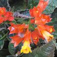 Flowers of Himalalaya