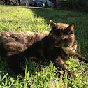 Tortoiseshell cat, Calico cat, marble cake cat
