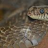 Rat snakes