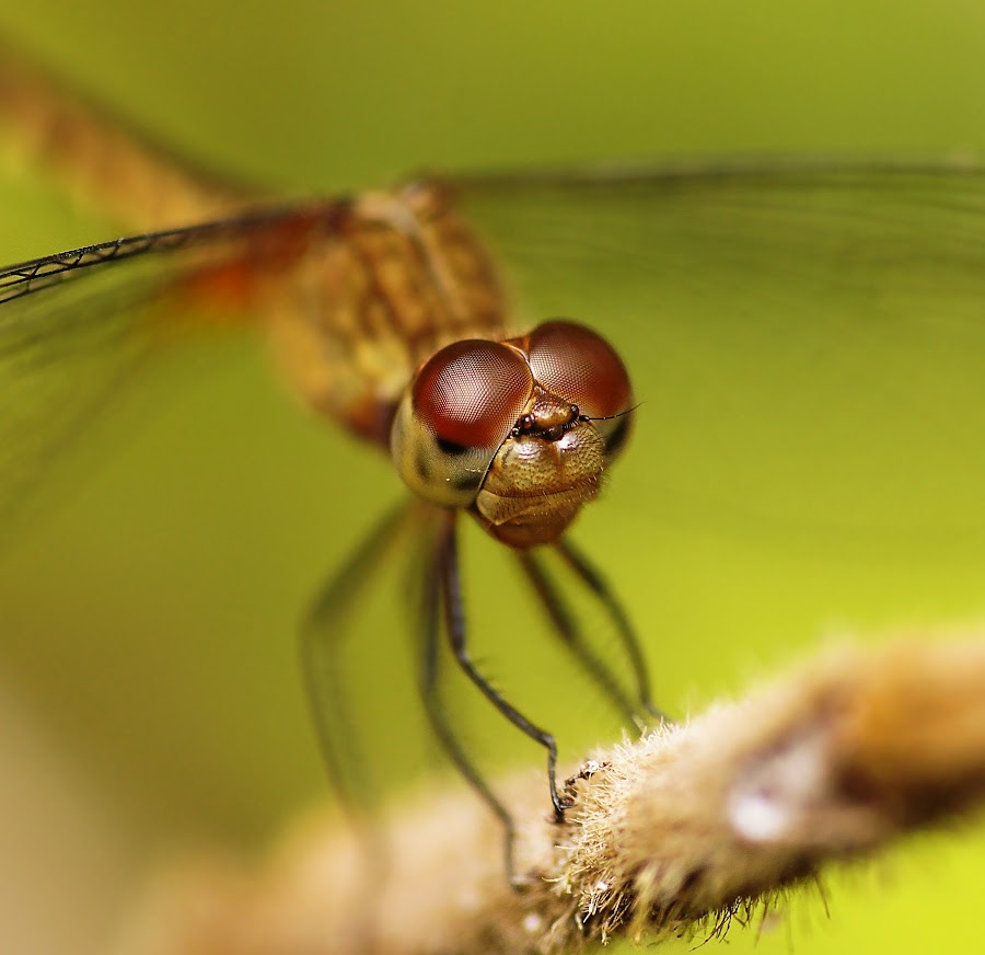 Look me in the Eyes by Siggy In Costa Rica - Animals Insects & Spiders ( macro, insect, dragonfly, close-up,  )