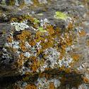Lichen, mix