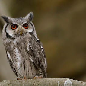 owl by Andrew Percival - Animals Birds ( bird, nature, color, composition, owl, wildlife, photography,  )