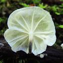 Marasmiellus candidus