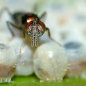 Egg Parasitoid Wasp