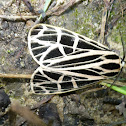 Virgin Tiger Moth