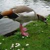 Oca del Nilo. Egyptian goose