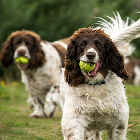 by Adele Price - Animals - Dogs Playing (  )