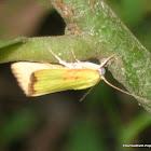 Cupreous Bollworm