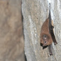 murcielago - sheath-tailed bat