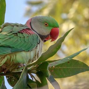 Alexandrine parakeet. by Brijesh Meena - Animals Birds ( parrots, wildlife, indian, rose ringed parakeet., birds,  )
