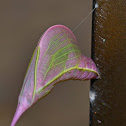 Cloudless Sulphur, Chrysalis and Butterfly