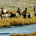 Himalayan Thar
