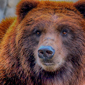 Grizzly Bear Portrait by Gina Gomez - Animals Other Mammals ( bear, animal images, pictures of bears, animal photography, wildlife photography, wildlife photo, pictures of grizzly bears, photos of bronx zoo, images of grizzly bears, bear wildlife, animal pictures, grizzly bear photo, images of bears, photos of grizzly bears, animal photo, bears, bronx zoo grizzly bears, bear photo, grizzly bear )