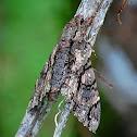 Amphonyx lucifer
