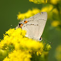 western tailed blue