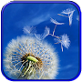 Dandelion wallpaper APK icon