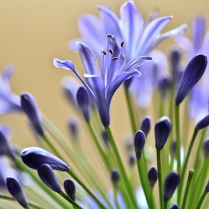 Agapanthus bloom Pixoto.jpg