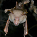 Commerson's leaf-nosed bat
