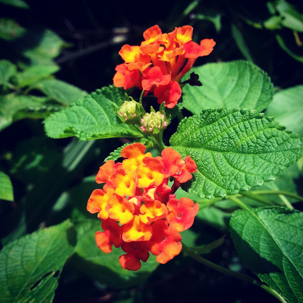 Common Broad Leaves Weed In Malaysia Project Noah