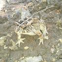 Guttural Toad