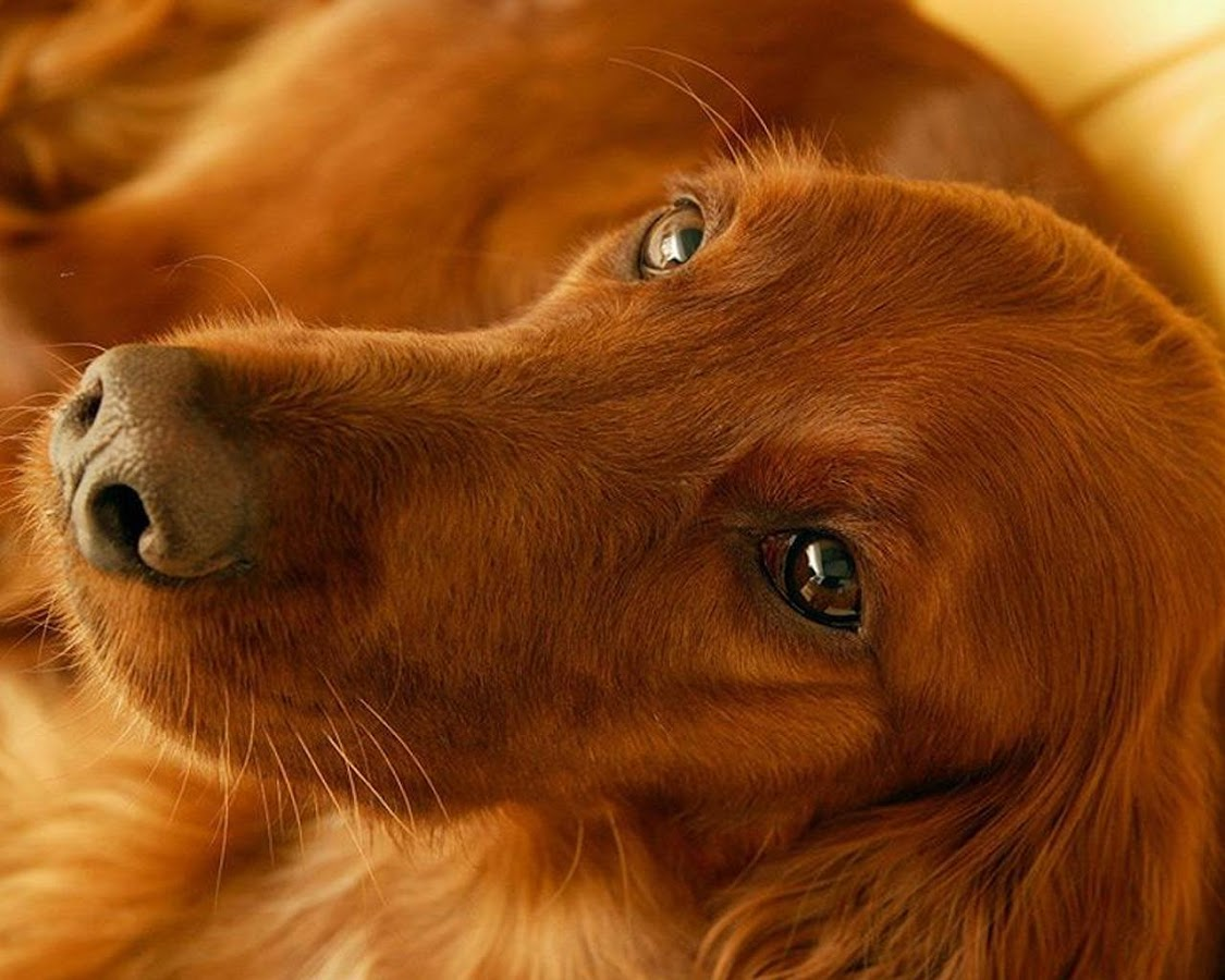 irish setters wallpaper download - photo #28
