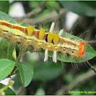 Orgyia Tussock Moth (Caterpillar)